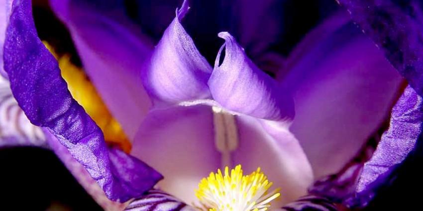 Il Fiore Iris