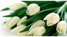 Il Tulipano Bianco - Semplicità ed Eleganza