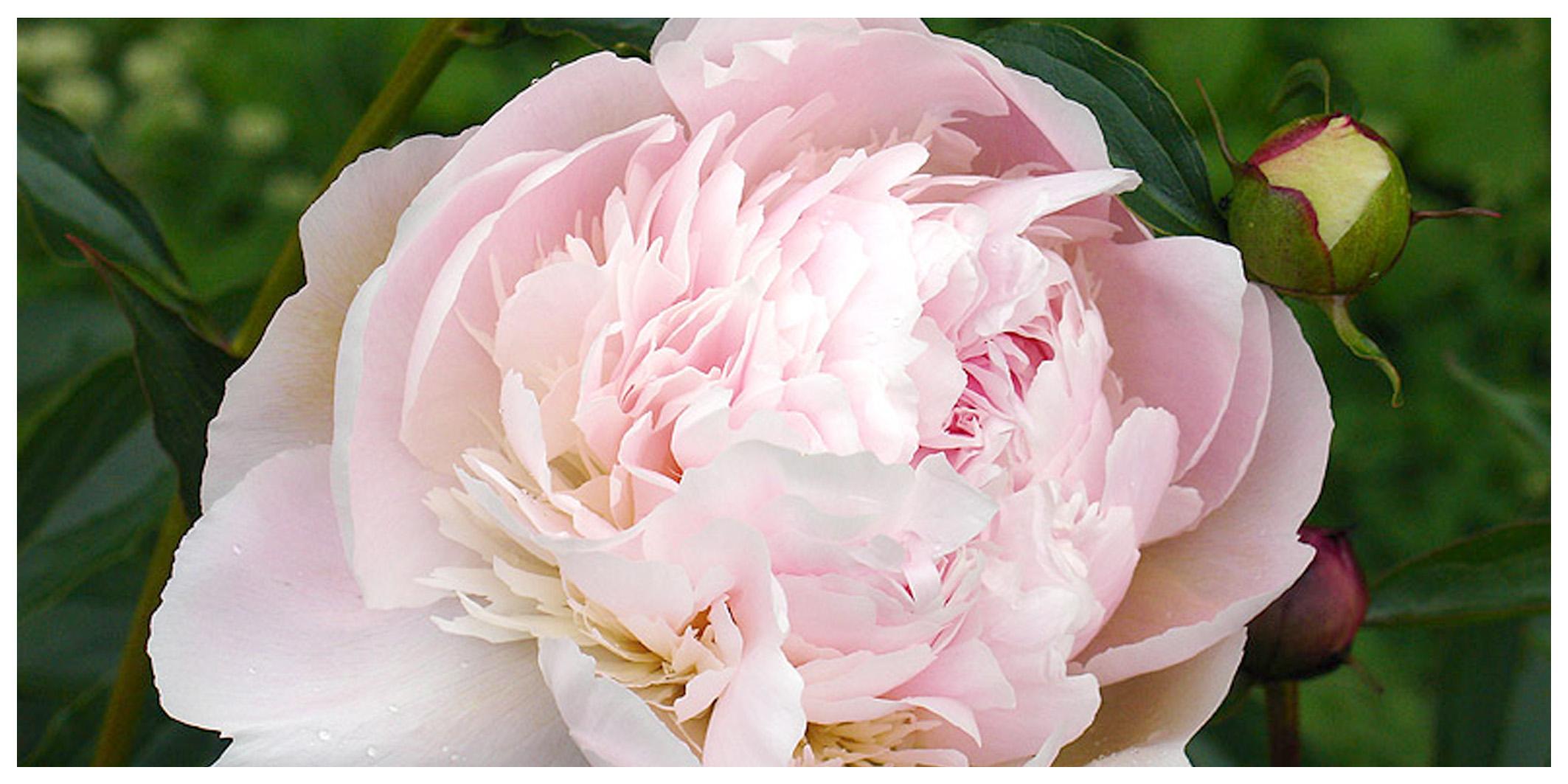 Fiori Tipo Rose.La Peonia Regina Di Tutti I Fiori